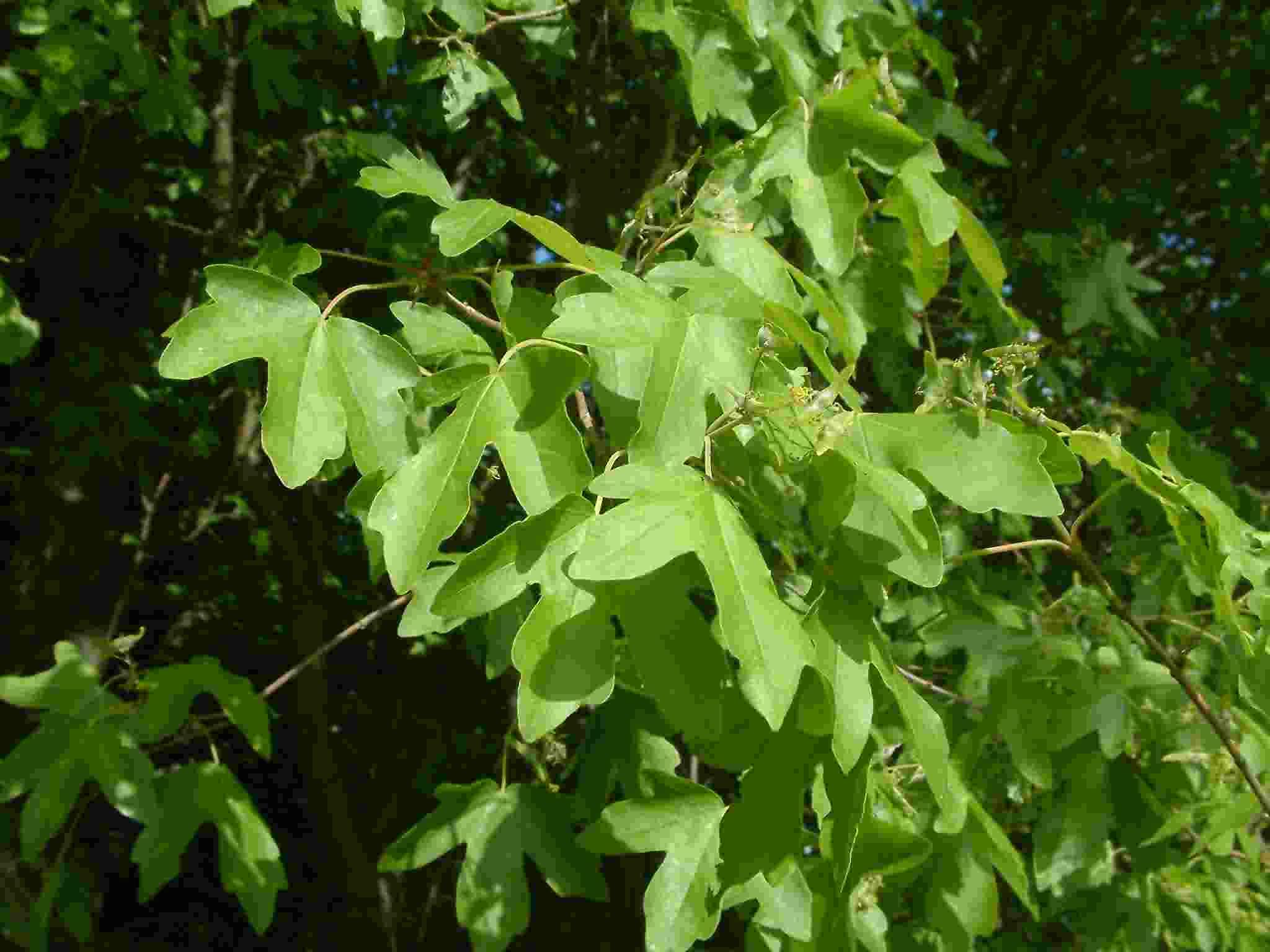 Acer campestre 1