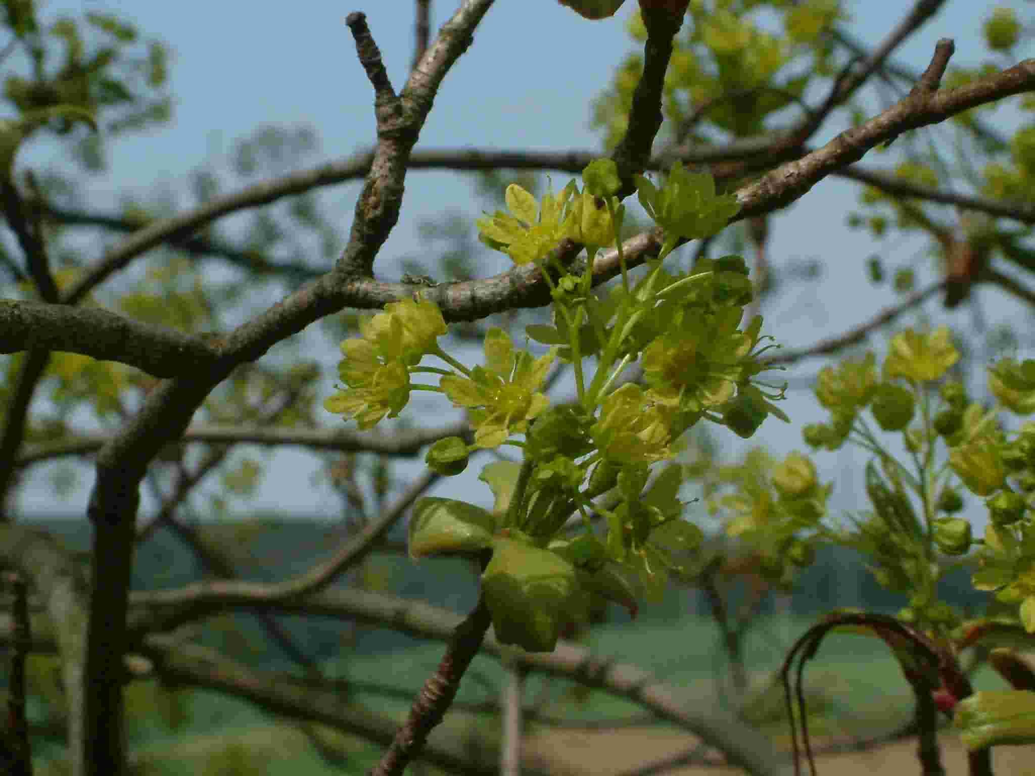 Acer platanoides 1