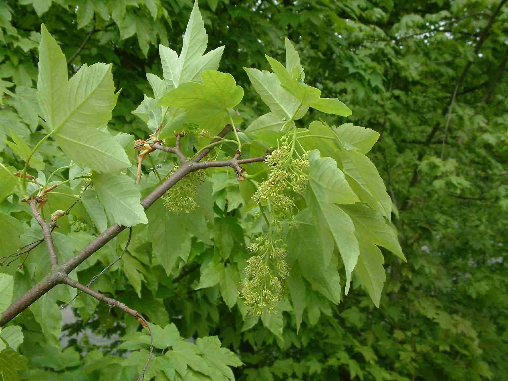 Acer pseudoplatanus 1
