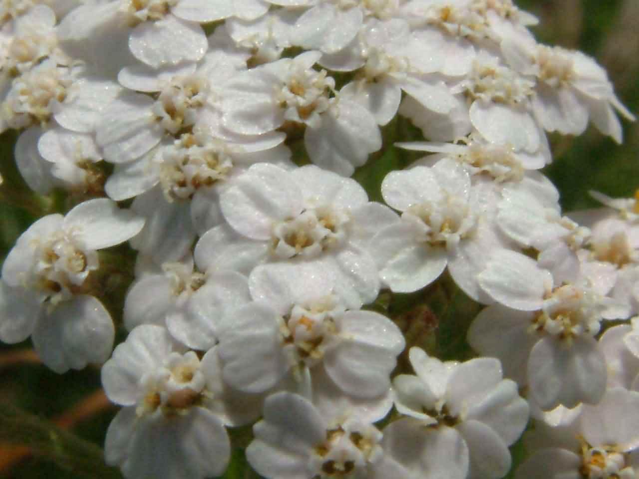 Achillea millefolium 2