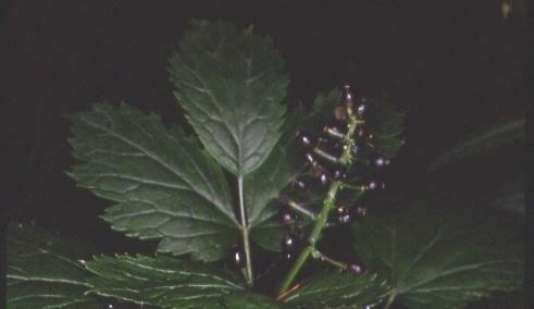 Actaea spicata 3