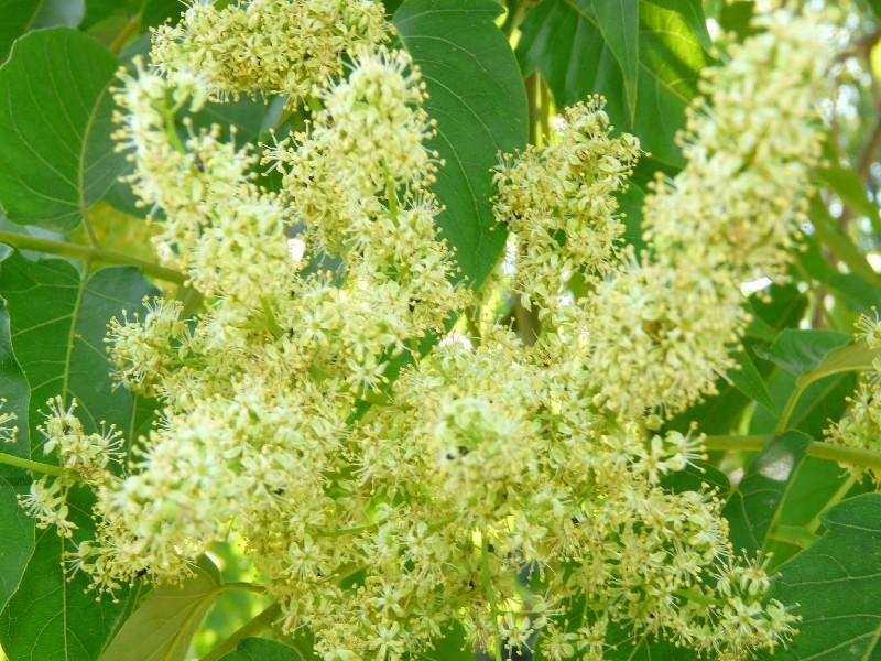 Ailanthus altissima 2