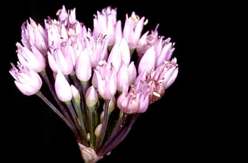 Allium angulosum 2