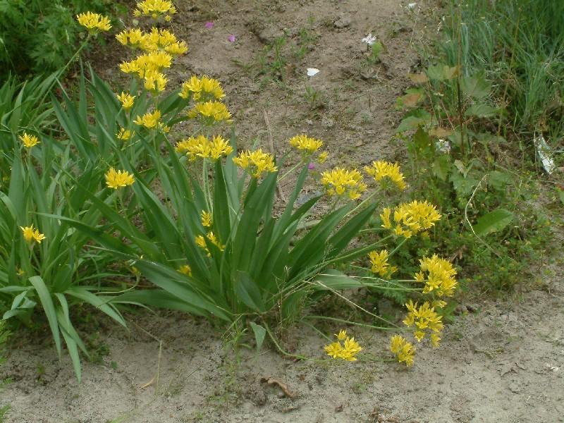 Allium moly 1