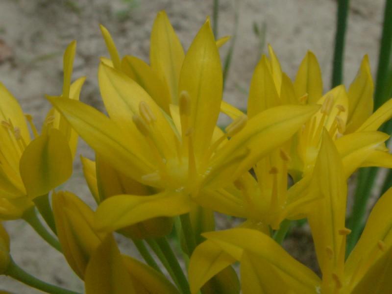 Allium moly 2