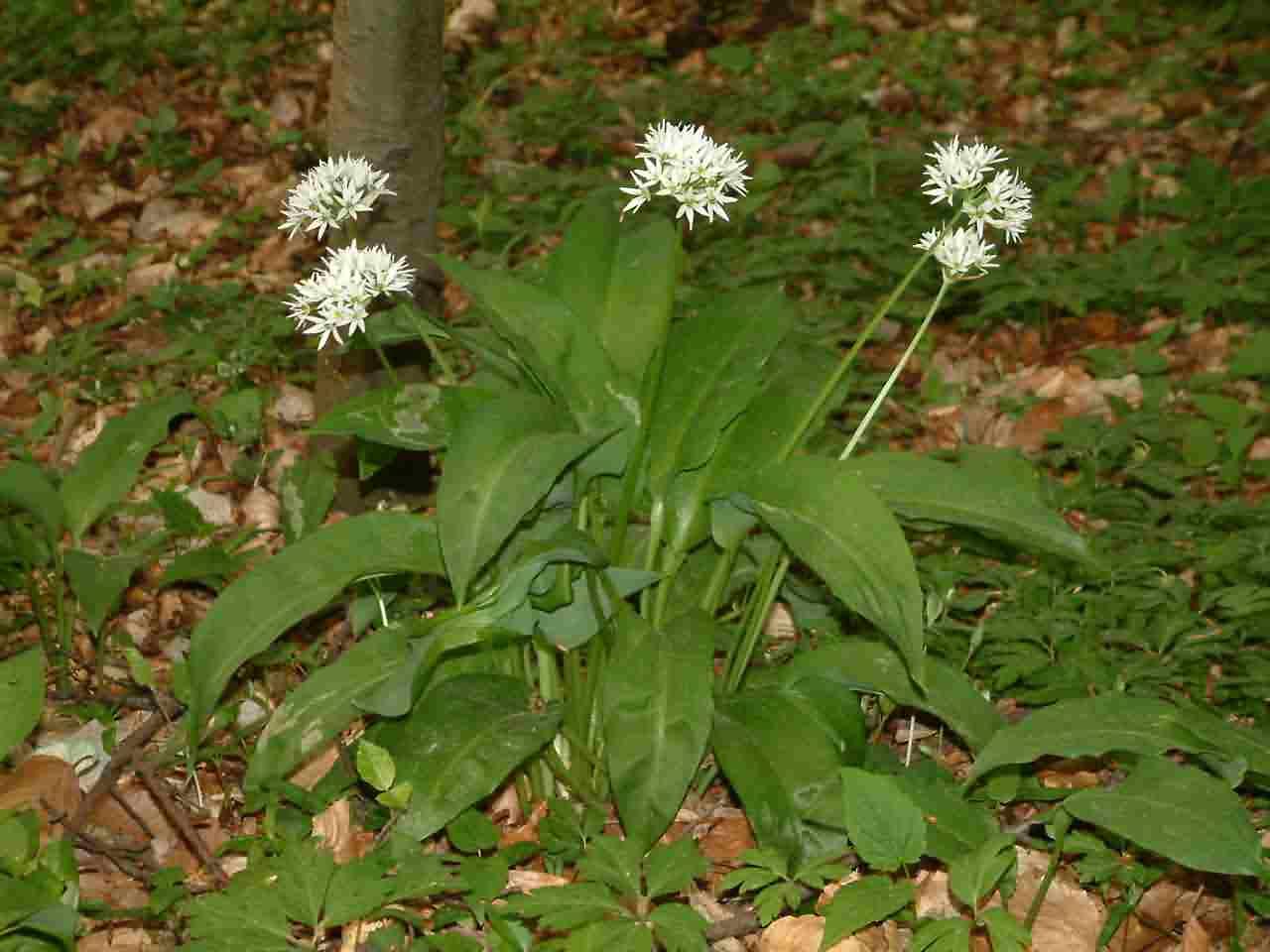 Allium ursinum 1