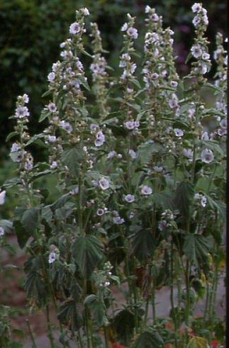 Althaea officinalis 1