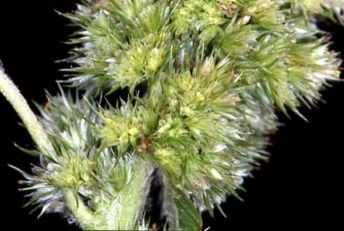 Amaranthus retroflexus 2