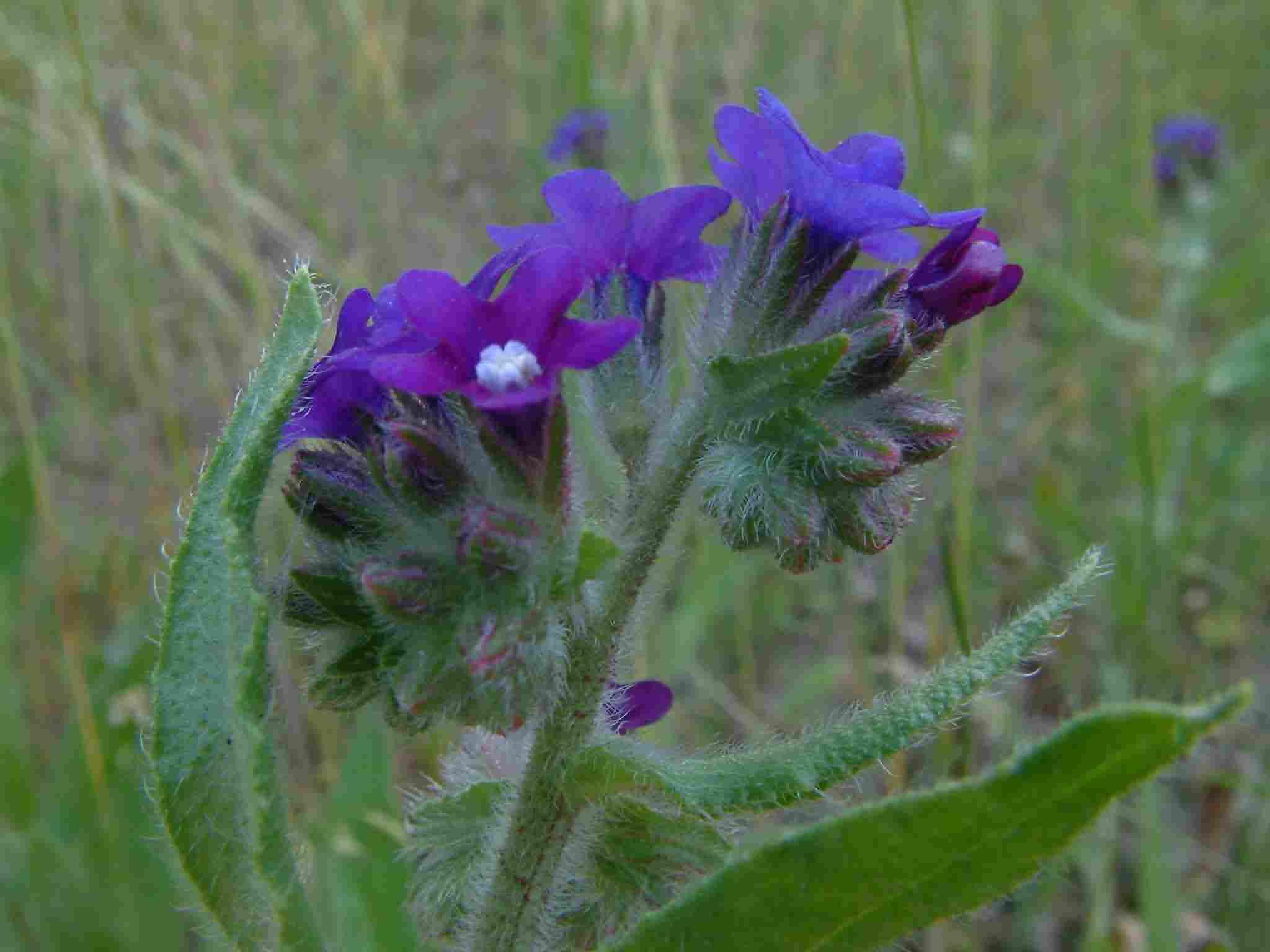 Anchusa officinalis 3