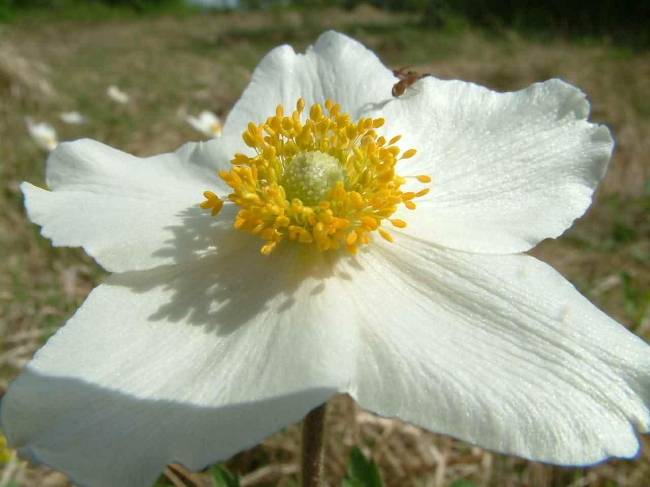 Anemone sylvestris 2