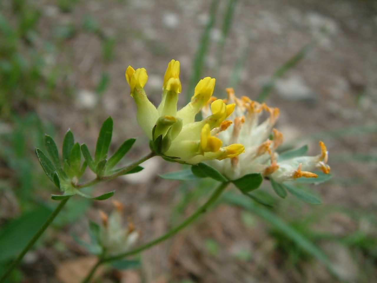 Anthyllis vulneraria 3