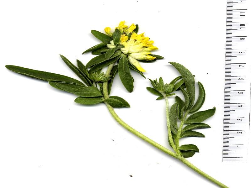 Anthyllis vulneraria  ssp. pseudovulneraria