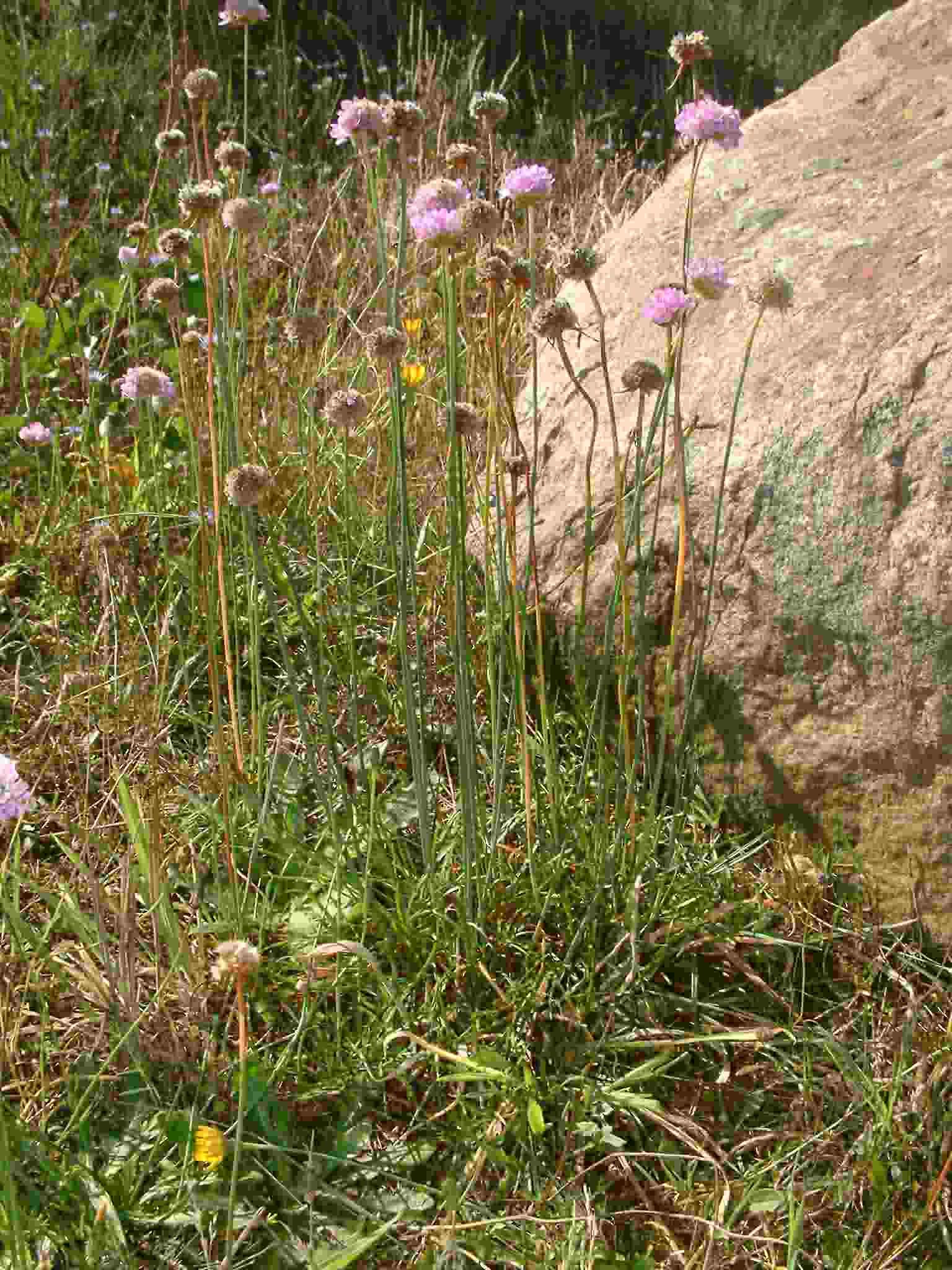 Armeria maritima ssp elongata 1