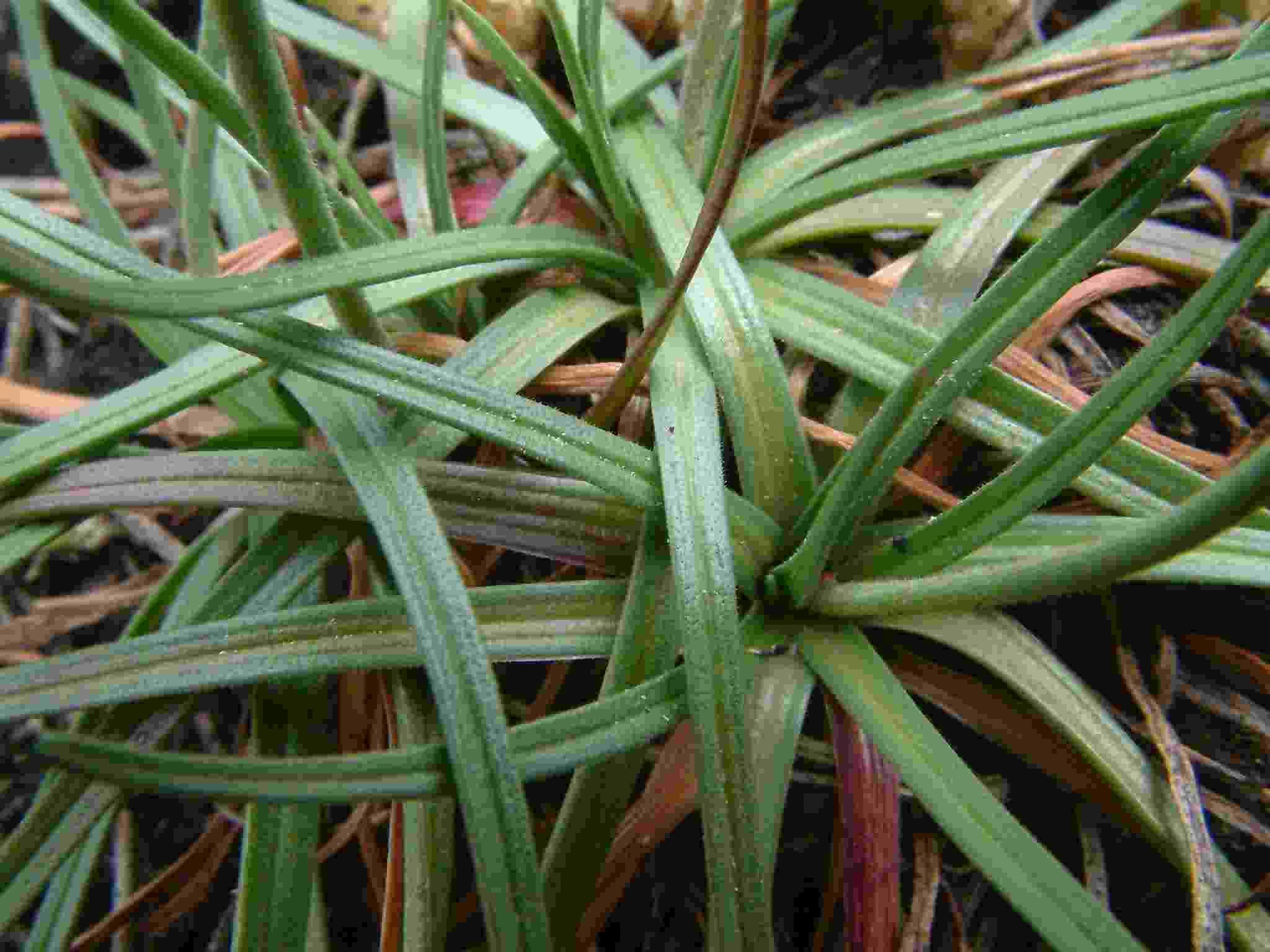 Armeria maritima ssp. serpentini 3