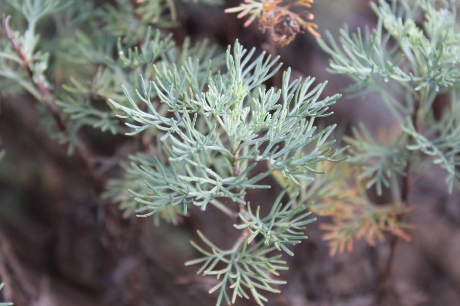 Artemisia abrotanum 1