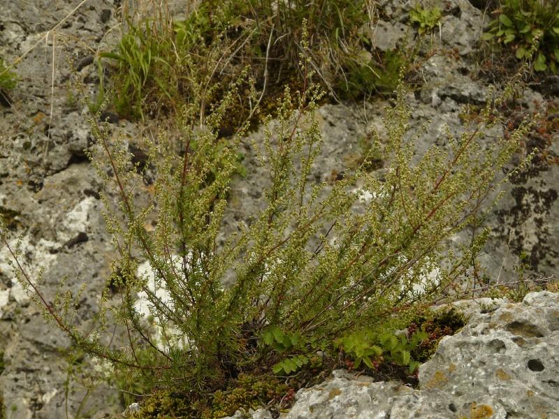 Artemisia campestris 1