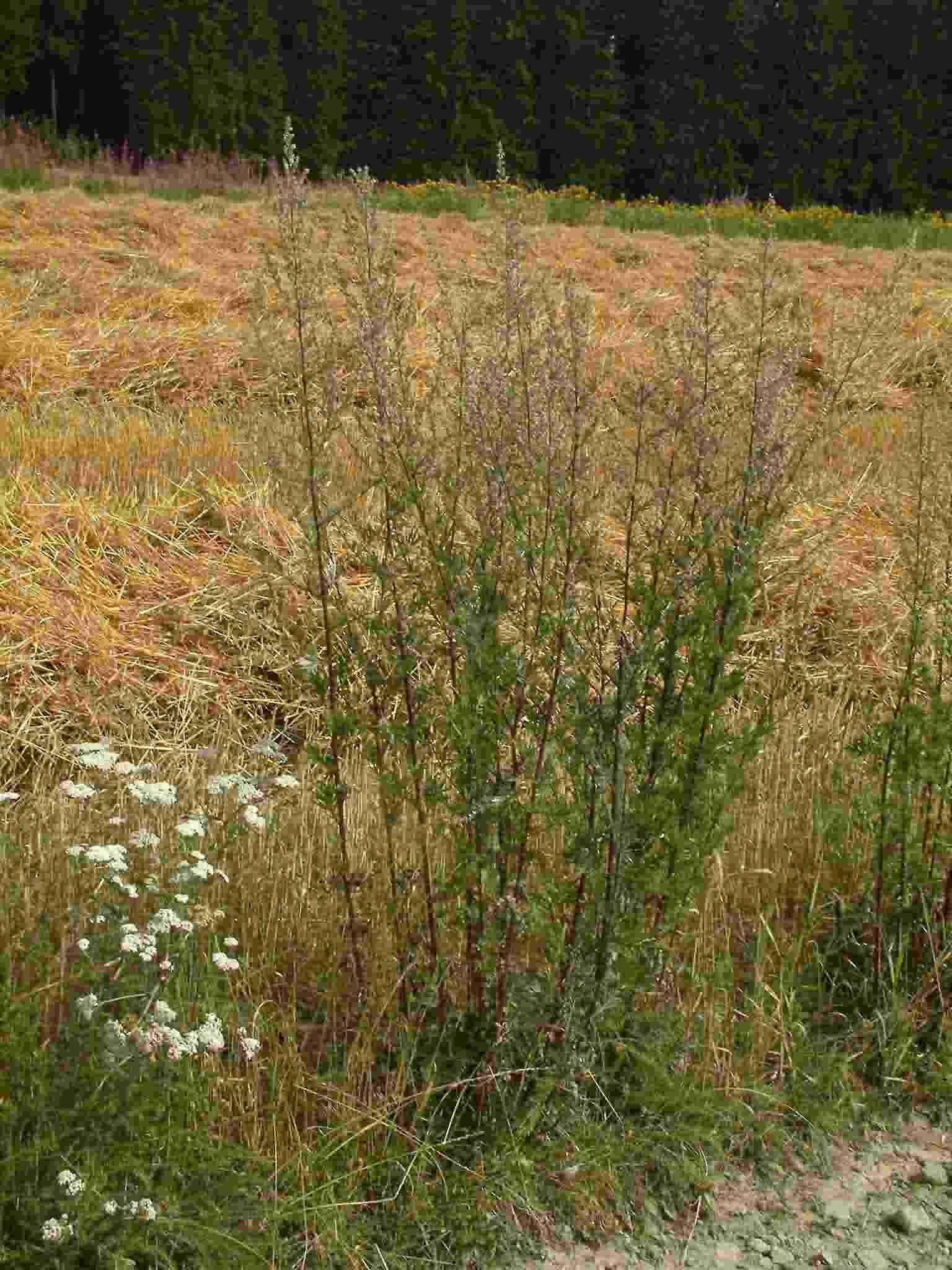 Artemisia vulgaris 1