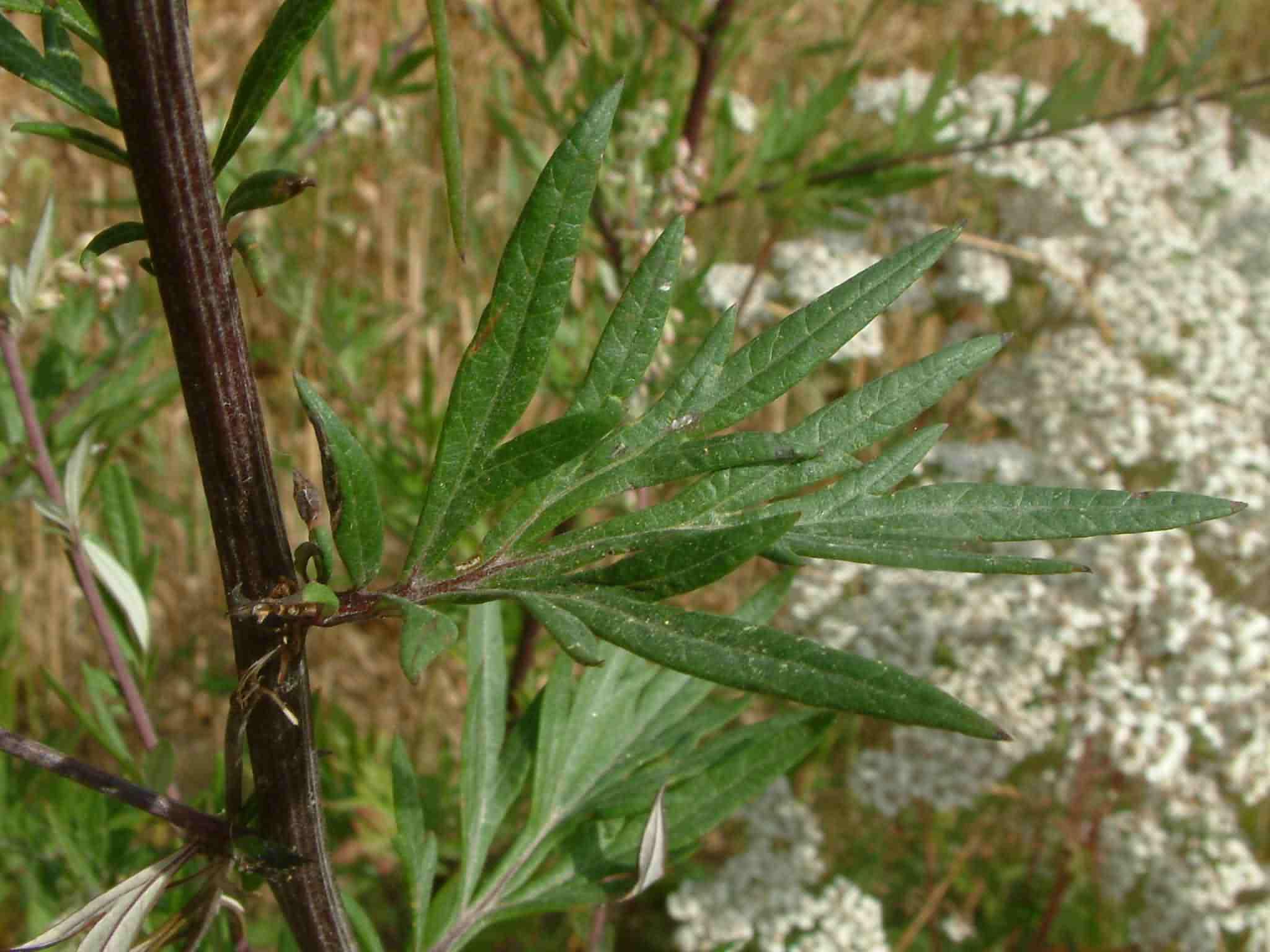 Artemisia vulgaris 3