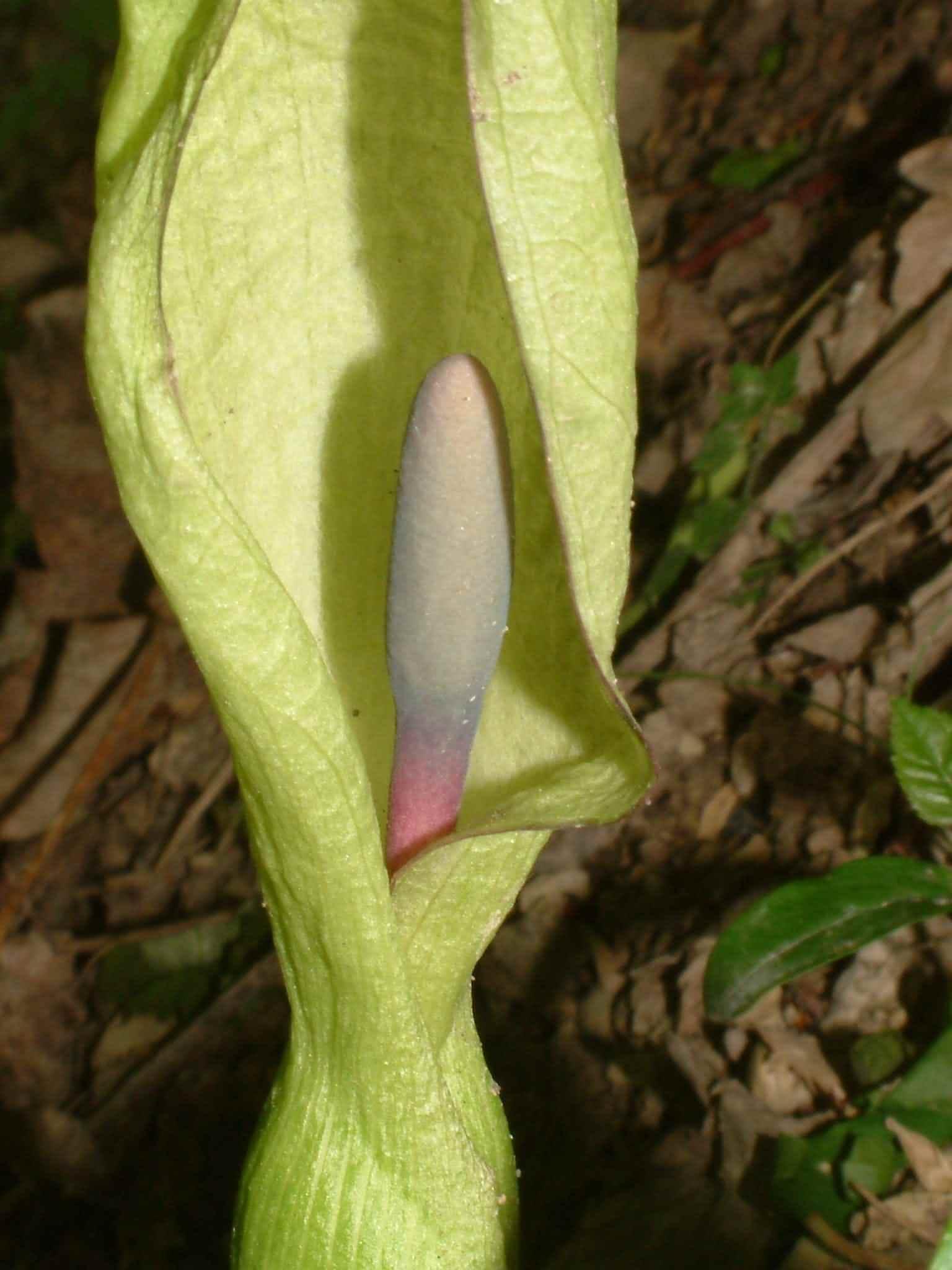 Arum maculatum 1