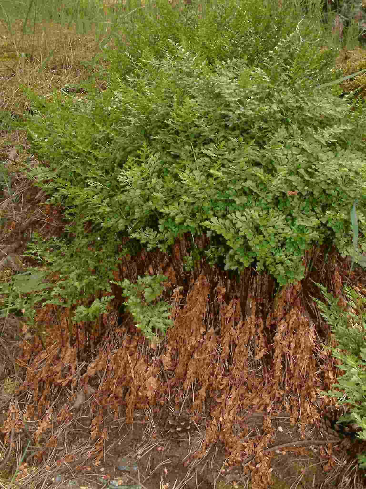Asplenium cuneifolium 1