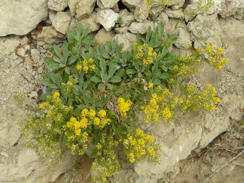 Aurinia saxatilis 1