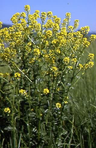 Barbarea vulgaris 1
