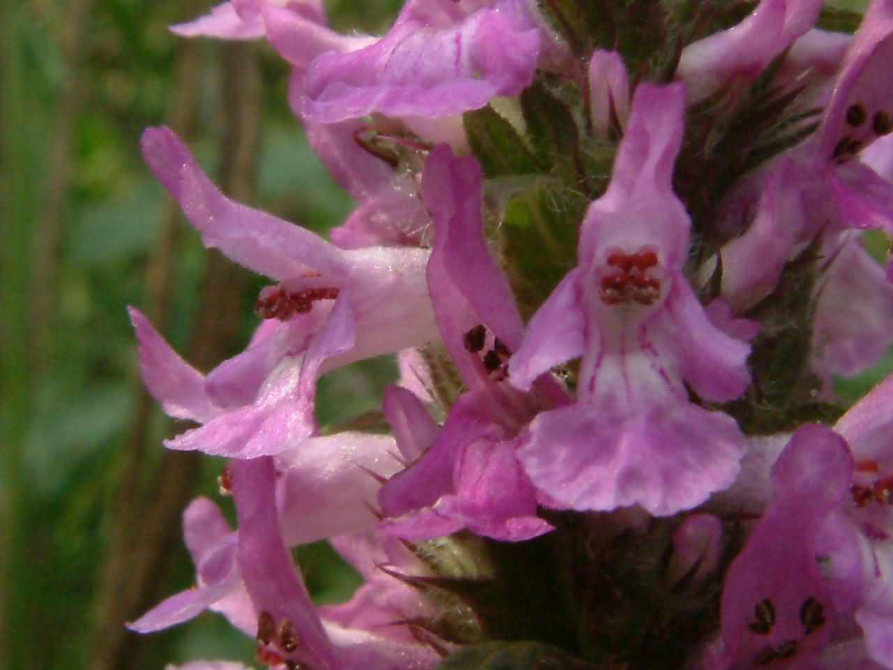 Betonica officinalis 2