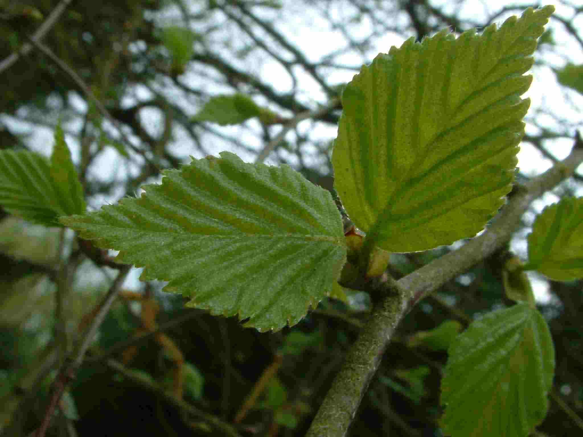 Betula pubescens 1