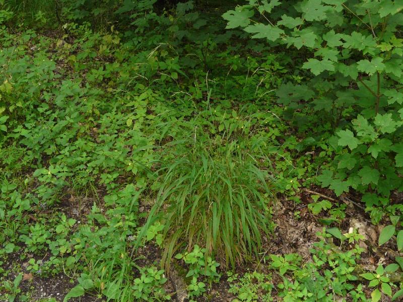 Brachypodium sylvaticum 1