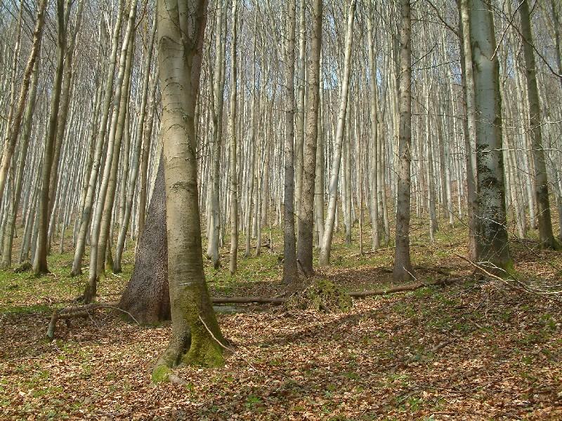 Waldmeister-Buchenwald 1