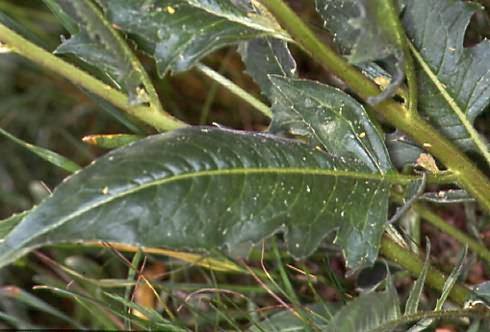 Bunias orientalis 3