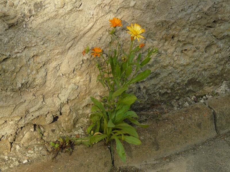 Calendula officinalis 1