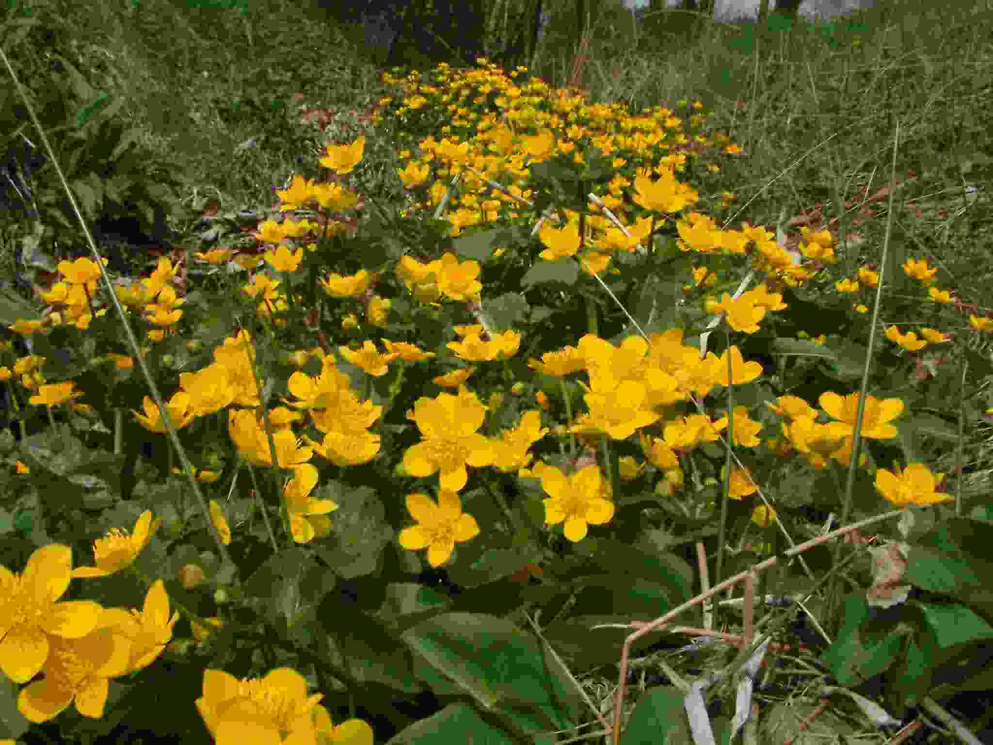 Caltha palustris 1