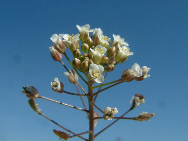 Capsella bursa-pastoris 2