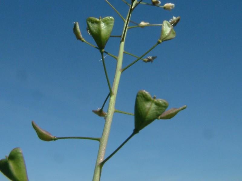 Capsella bursa-pastoris 3