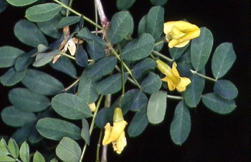 Caragana arborescens 1