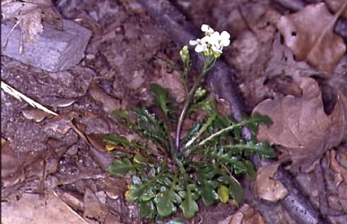 Cardaminopsis arenosa subsp. borbasii