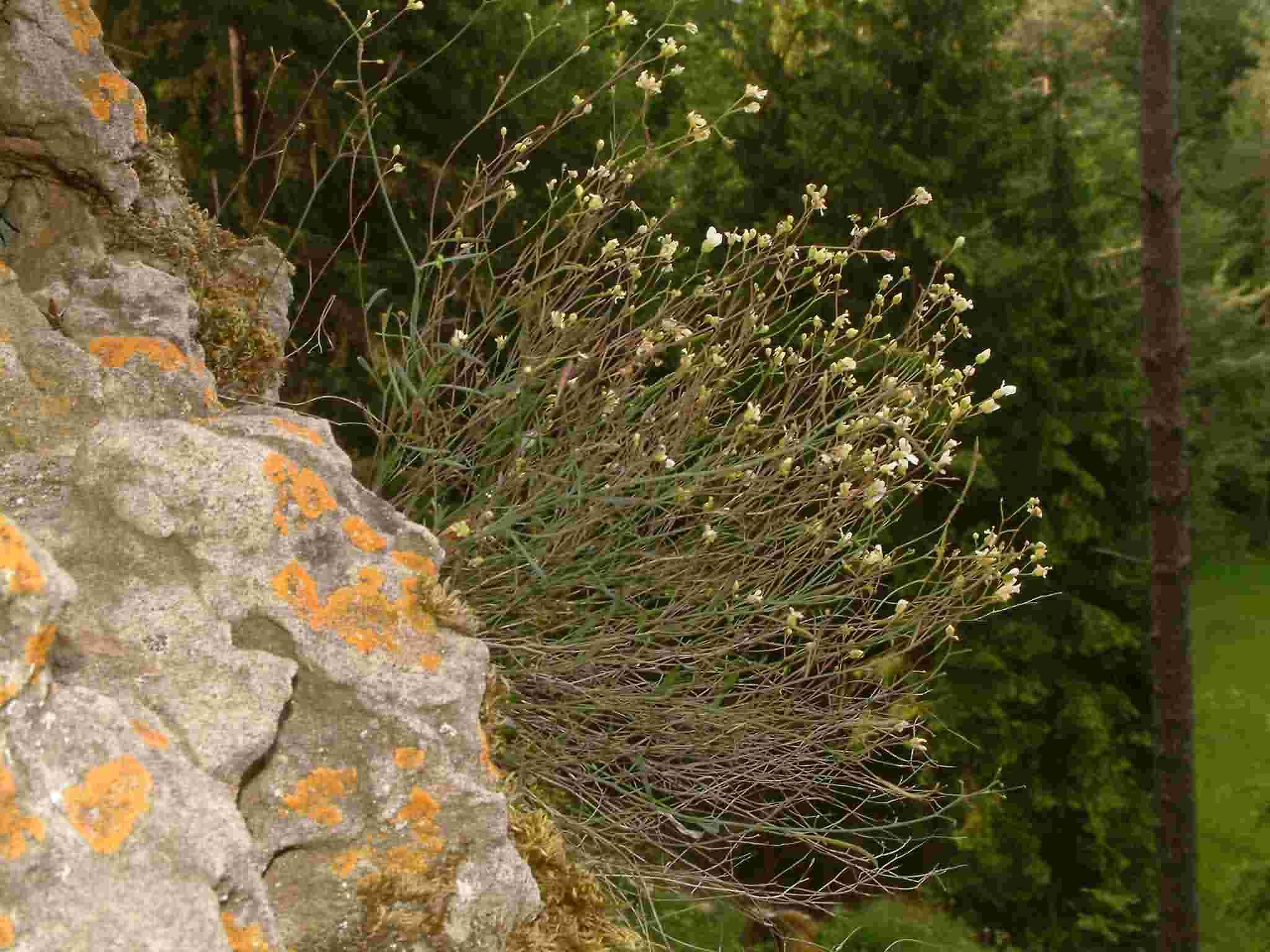 Cardaminopsis petraea 1