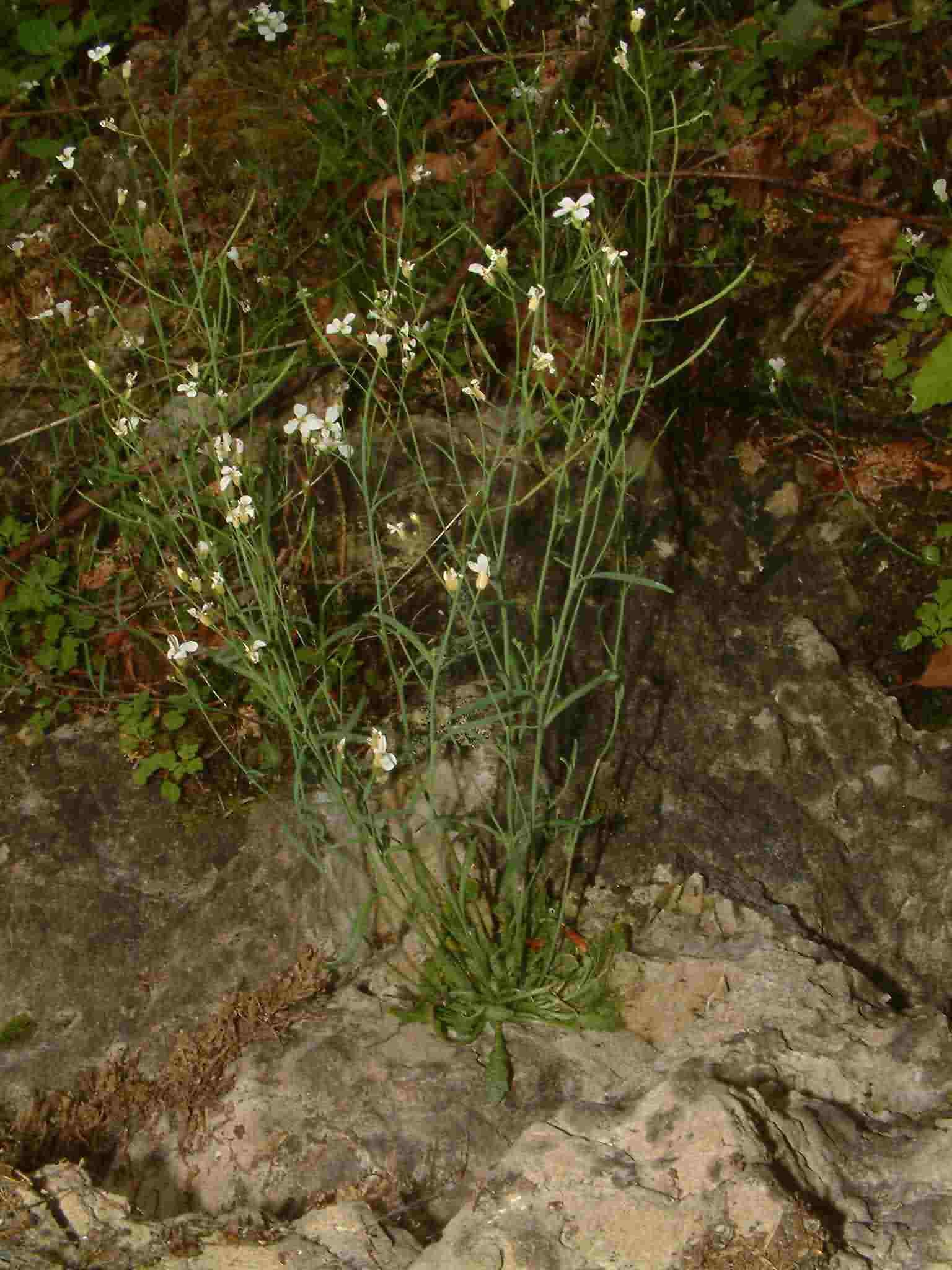 Cardaminopsis petraea 2