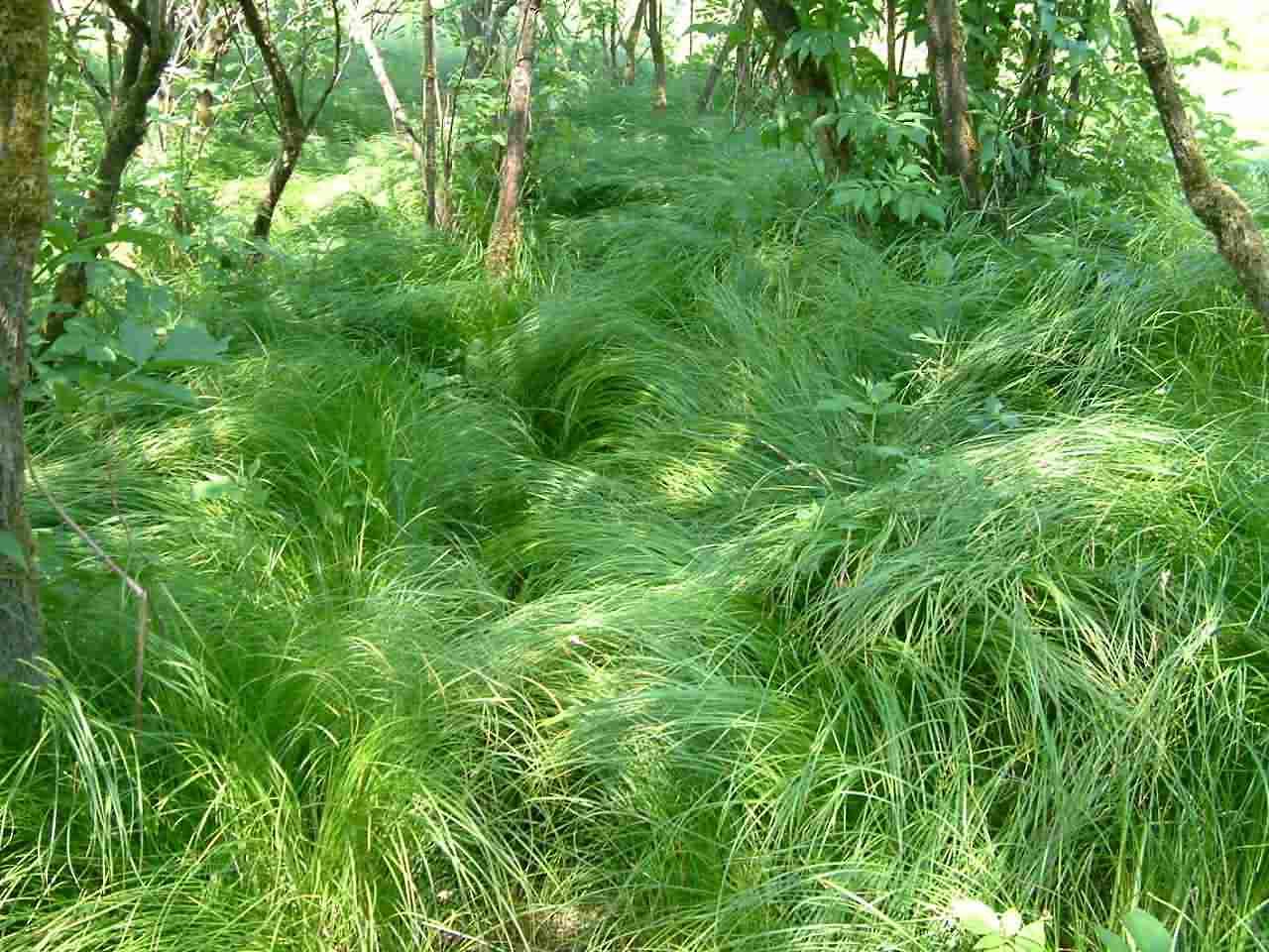 Carex brizoides 1
