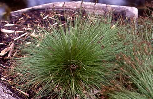 Carex davalliana 1