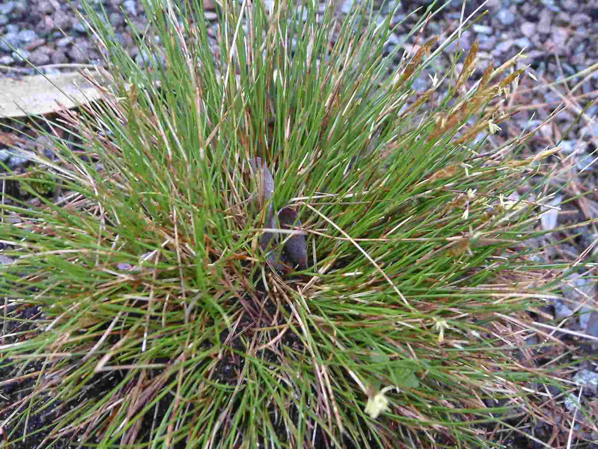 Carex dioica