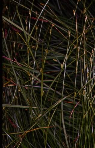Carex distans 1
