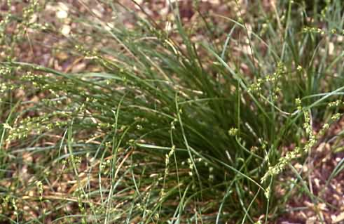 Carex divulsa 1