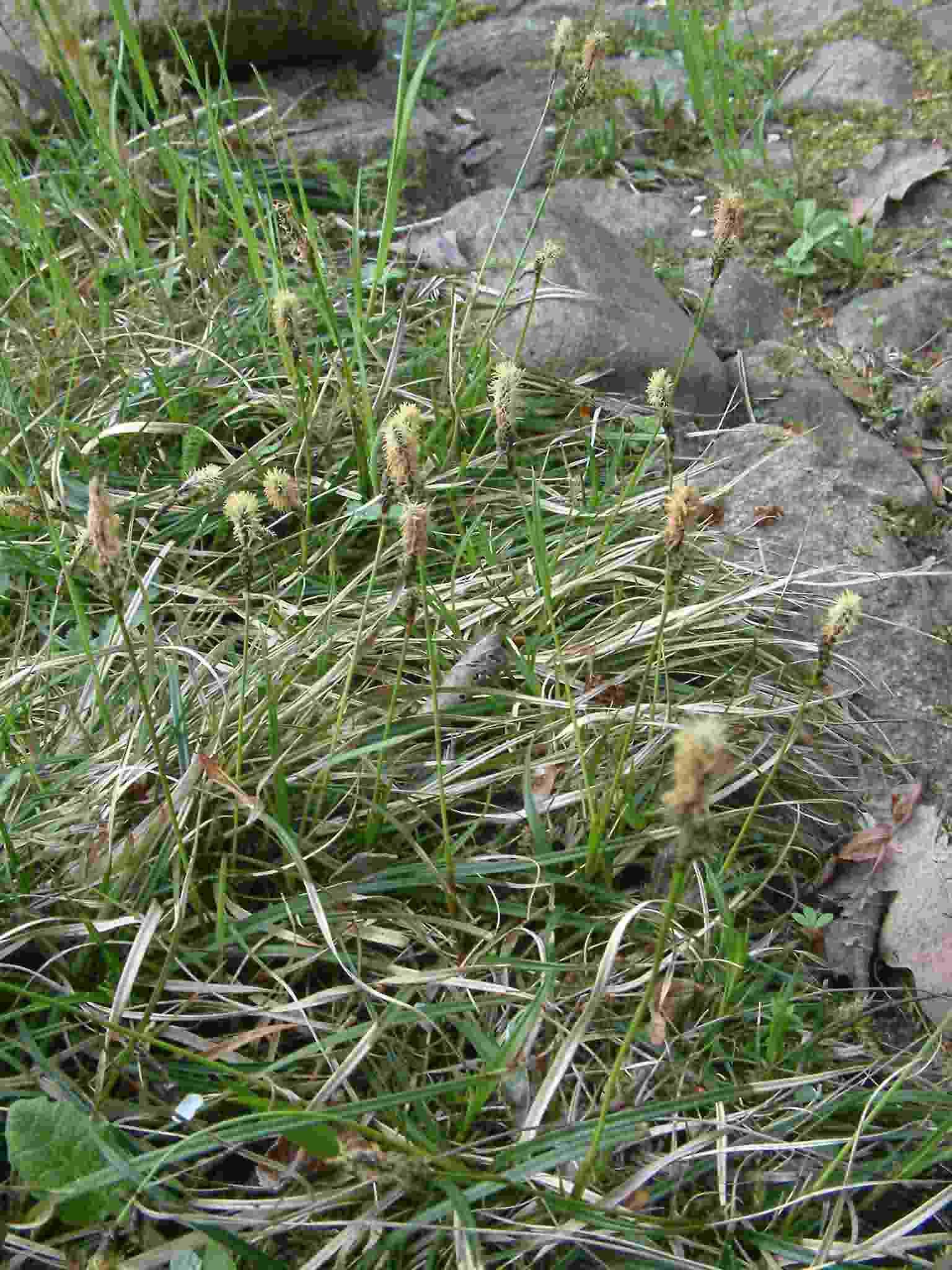 Carex ericetorum 1