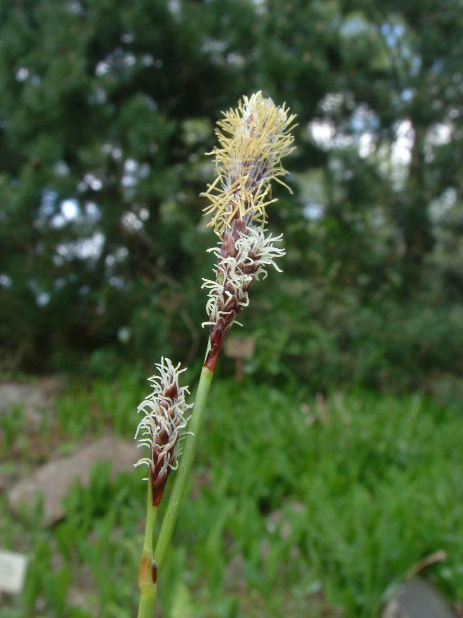 Carex ericetorum 2