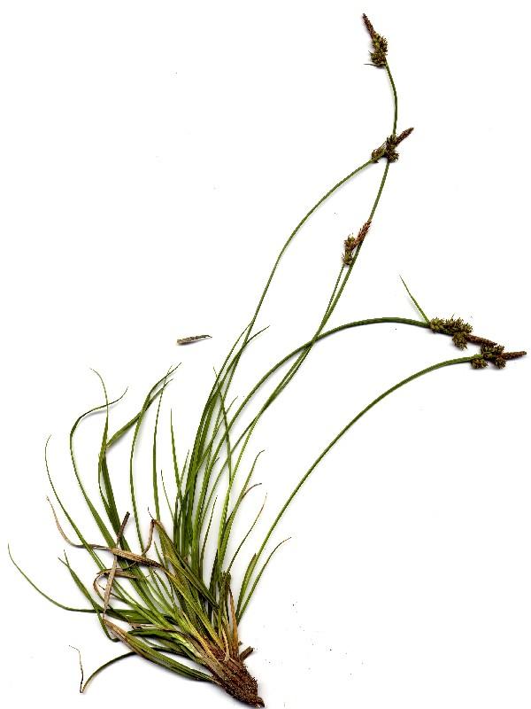 Carex pilulifera 1