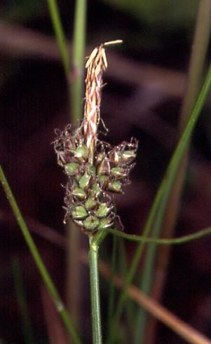 Carex pilulifera 2