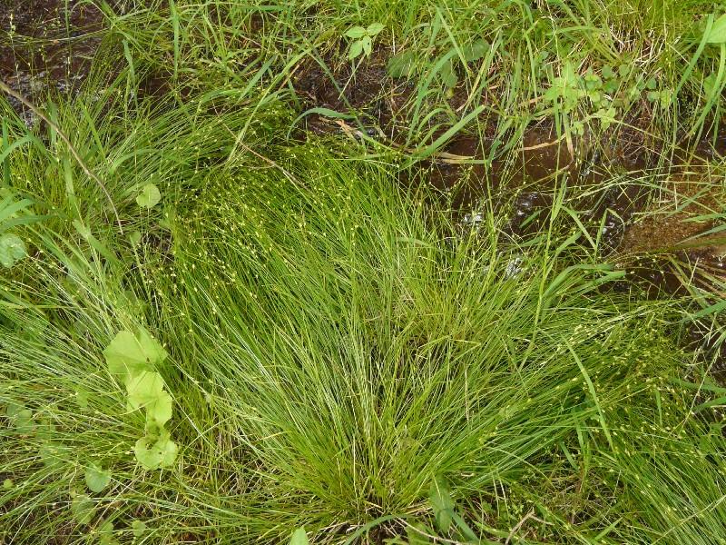 Carex remota 1