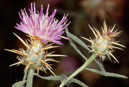 Centaurea calcitrapa 2